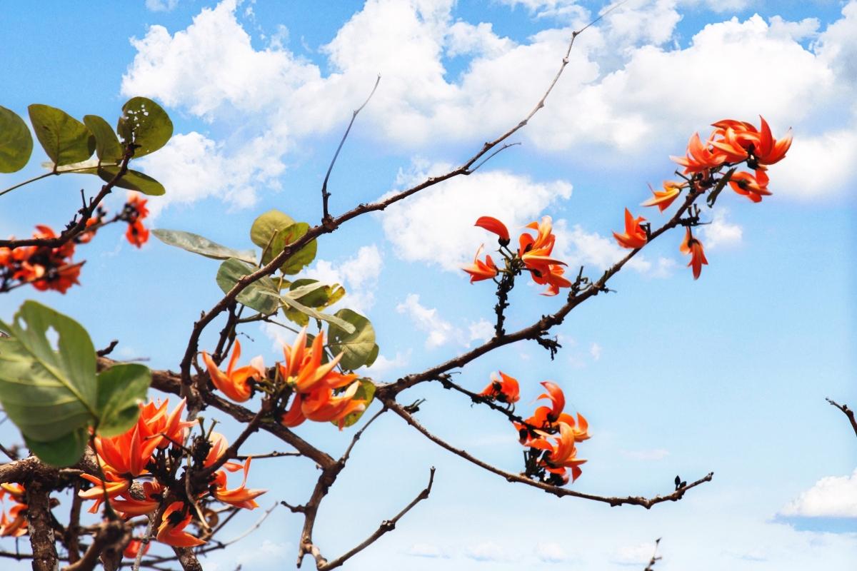 Hoa vông màu vàng cam, như những đốm lửa giữa trời xanh mấy trắng.